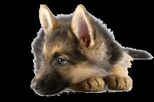 esterilizacion de perro en Madrid